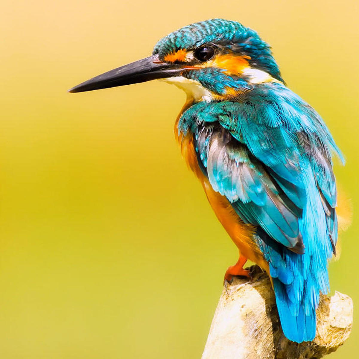 Kingfisher in Jasmund National Park.